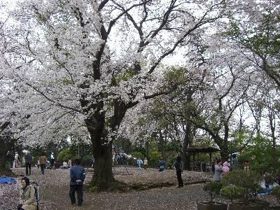 キャンプ座間横の公園の桜