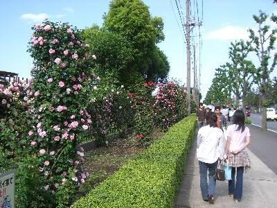 敷地前の道路側フェンス沿いに植えられたバラの数々