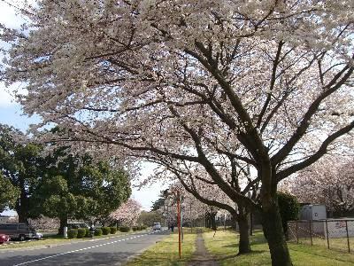 ソフトボールグランド前の桜並木