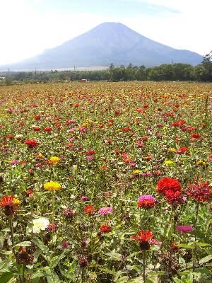 そうやって撮った写真 (富士山と百日草)