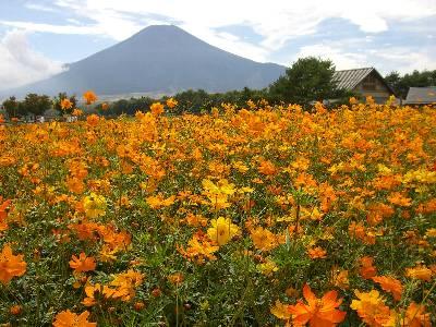 富士山とキバナコスモス