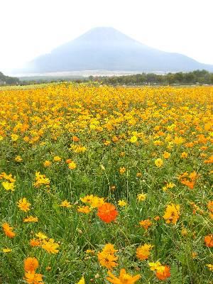 富士山と色の濃い花がまざっているキバナコスモス