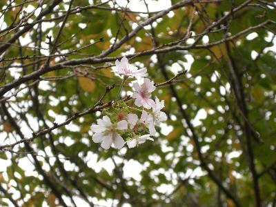 皇居東御苑に咲いていた桜
