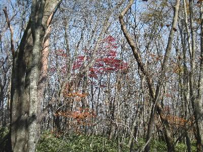 落葉した木々の中に残るモミジ