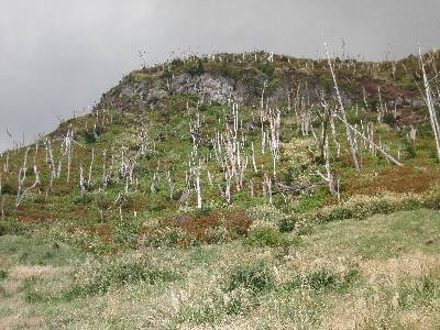 立ち枯れした林が広がる山