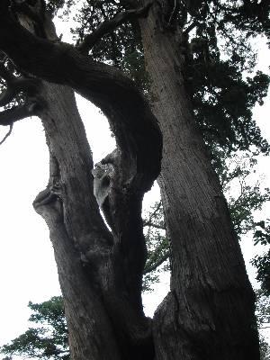 東京都指定天然記念物のビャクシンの木