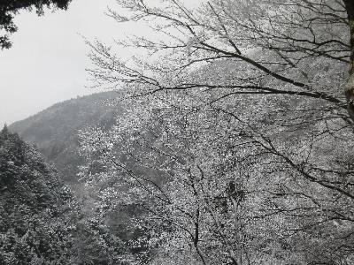 道志道の途中で見た新雪の積もった木々