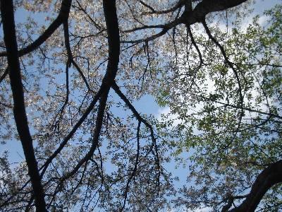 ふれあいの森公園の桜