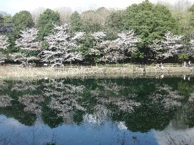 池の水面に映った桜
