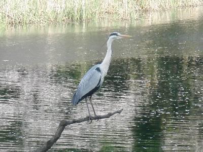 しらかしの池にいた大きな鳥