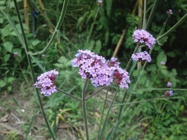 紫の小さな花 (名前不詳)