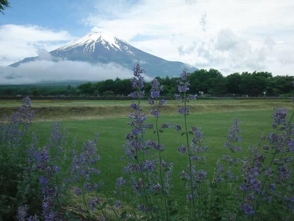ラベンダー (?) と芝生と富士山