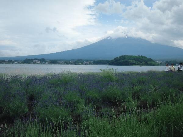 ラベンダー畑と富士山