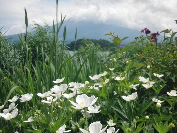 ニリンソウと富士山