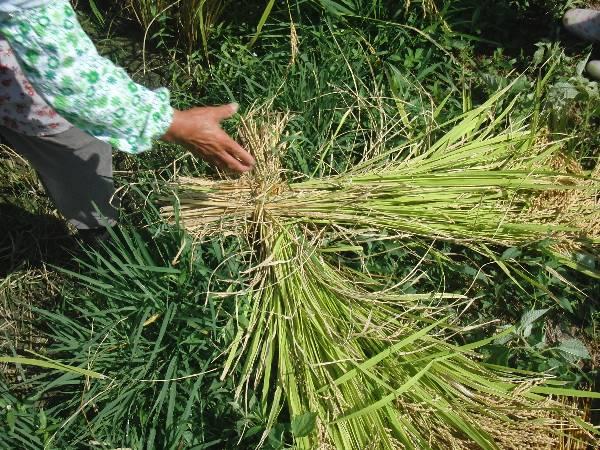 X 字型にまとめられた稲の束