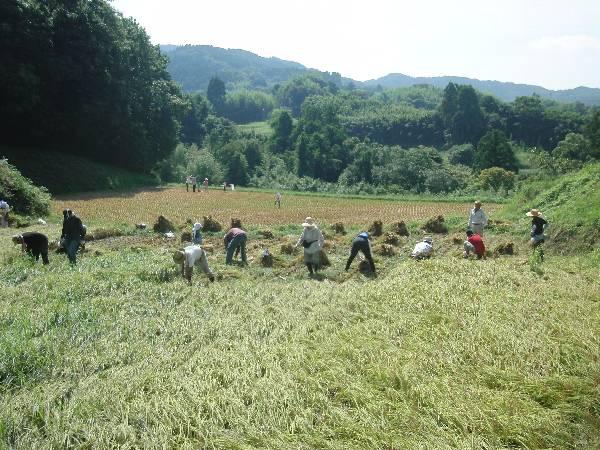 稲刈りの光景