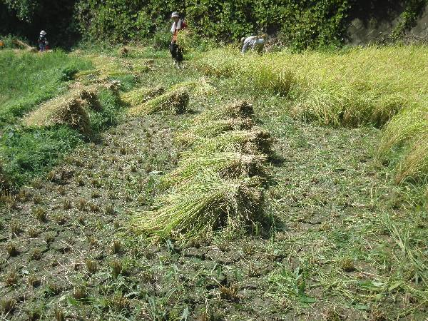 自分で刈った稲