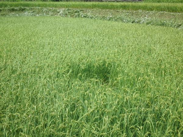 イノシシに踏み倒された稲