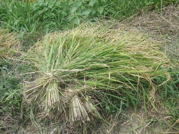 刈り取って束ねた稲