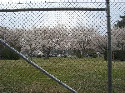キャンプ座間の桜