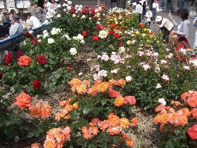 色々な種類のバラ
