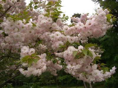 桜 (ショウゲツ)