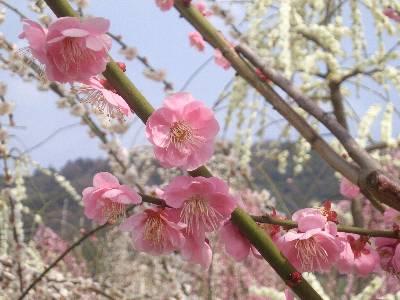 白梅の背景にピンクの花